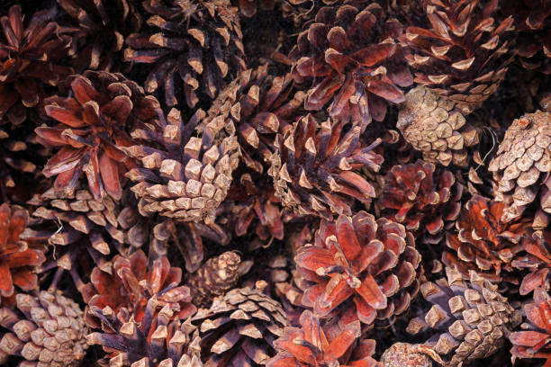 Pile of bright and colorful pine cones. Natural background stock photo