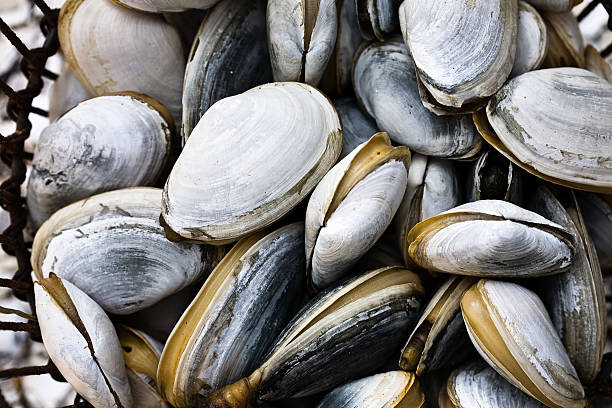 Pile of Clams stock photo