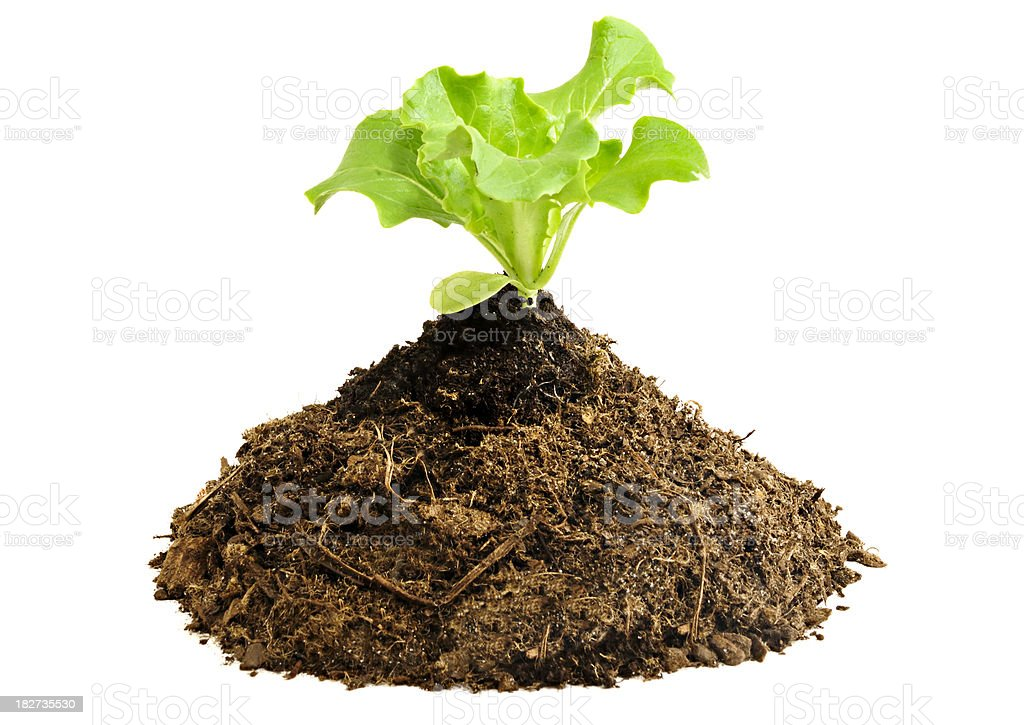 Pile of Compost with Lettuce Seedling royalty-free stock photo