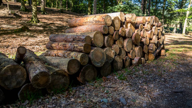 Pile of cut three trunks stock photo