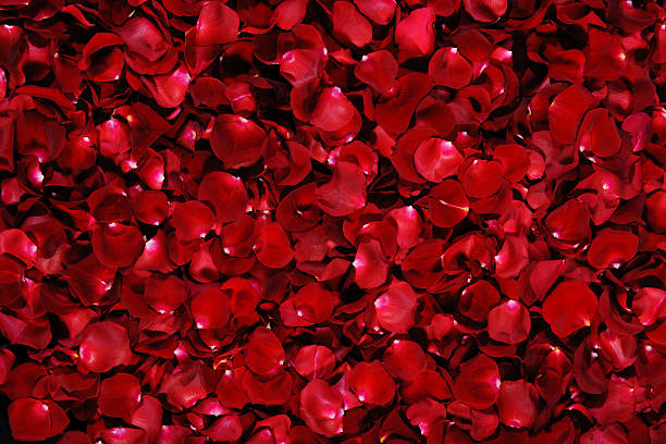 Pile of dark red rose petals with white tips picture id176957906?b=1&k=6&m=176957906&s=612x612&w=0&h=pxm0yblgcwvr6ygcxf7txdm3iu8zmsg9k58g9 emtmc=
