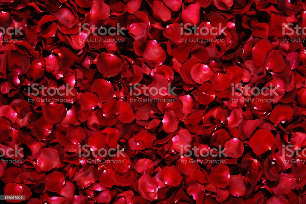 Pile of dark red rose petals with white tips stock photo