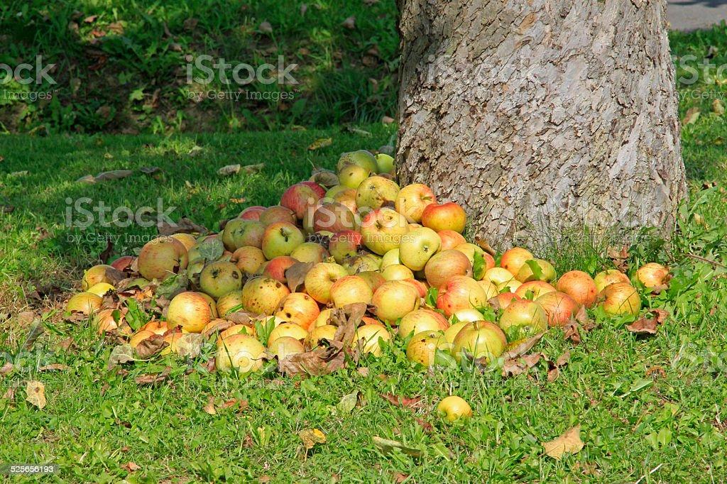 Pile of fallen apples stock photo
