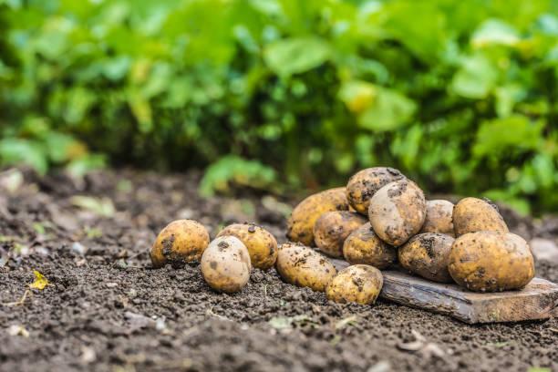 Ein Haufen von frischen Kartoffeln, die frei auf dem Boden liegend. – Foto