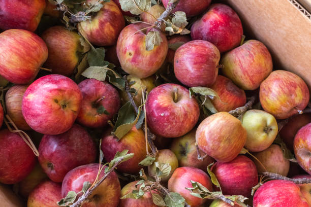 Pile of freshly picked organic farm apples with imperfections stock photo