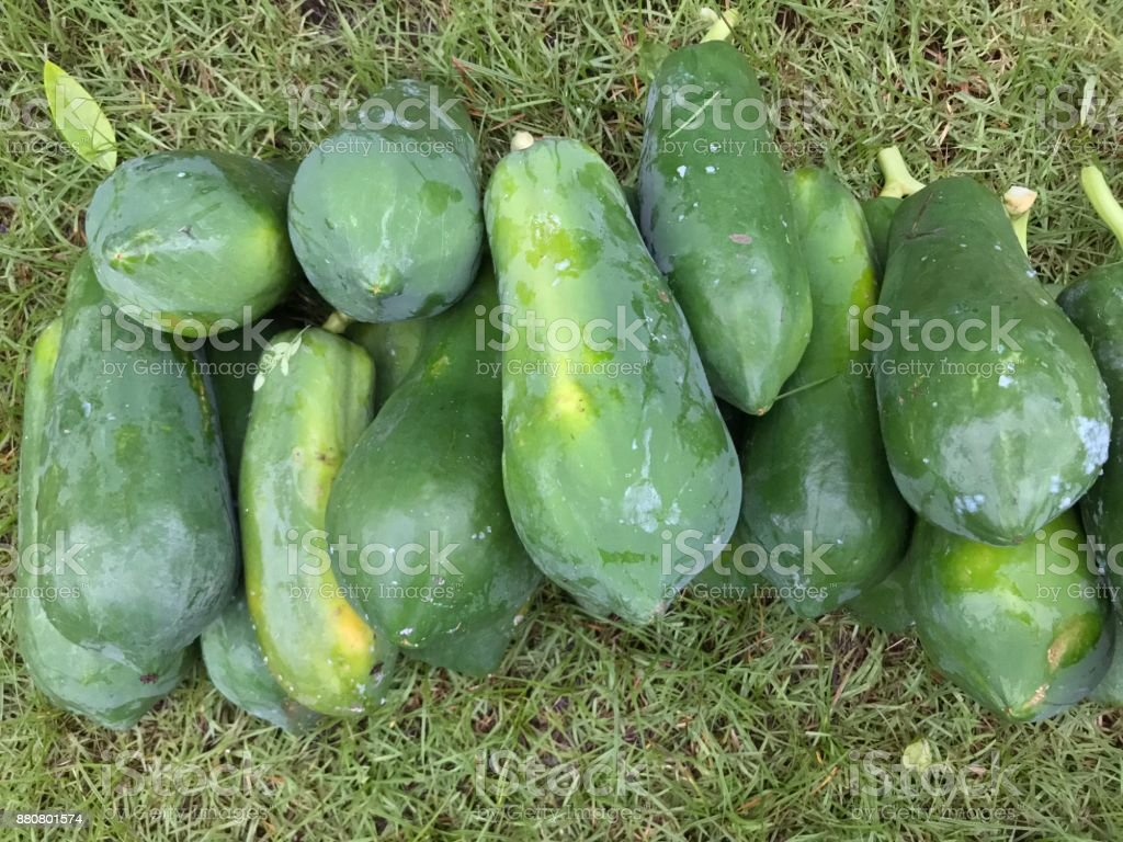 Pile of green papaya on grass field stock photo