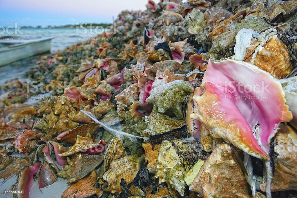 Pile of Harvested Conch Shells stock photo
