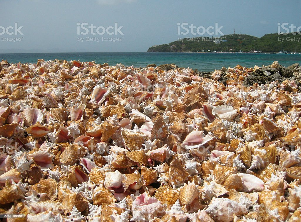 Pile of Hundreds of Discarded Conch Shells stock photo