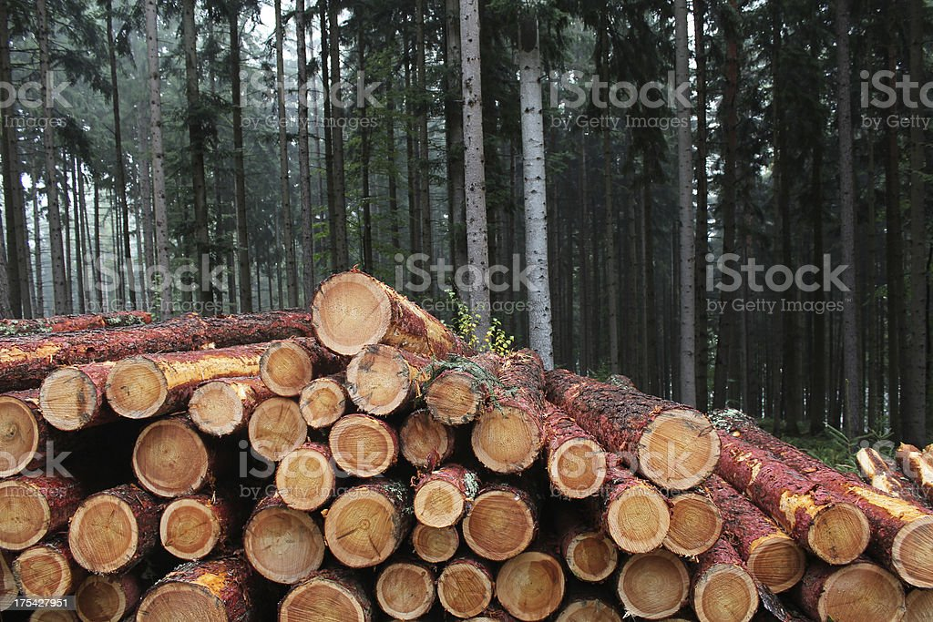 pile of larch logs stock photo