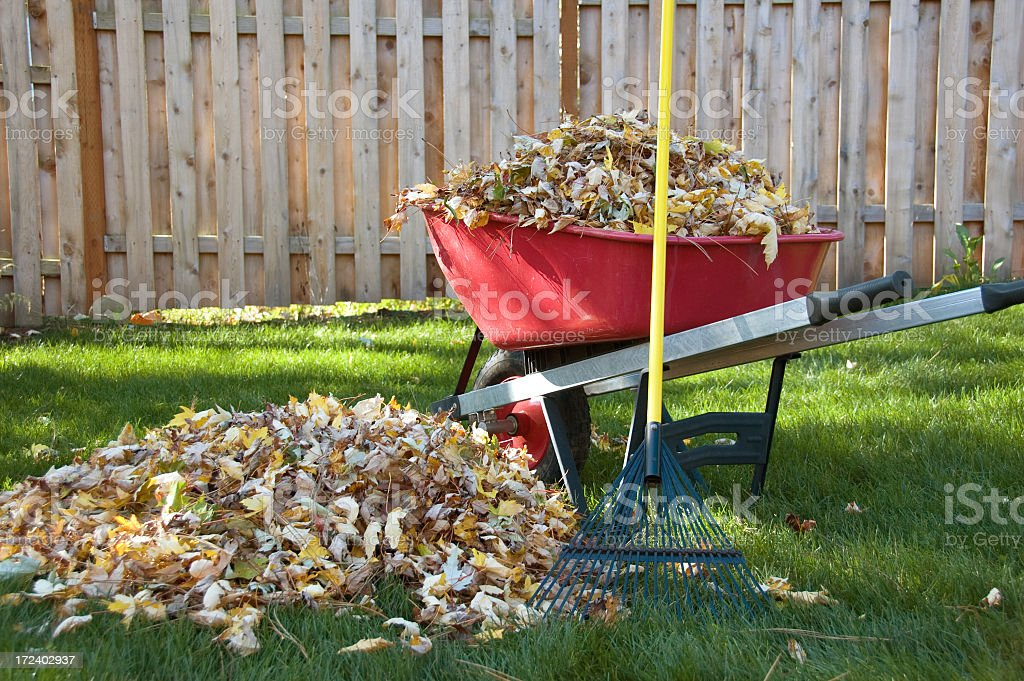 Pile of leaves next to a wheelbarrow full of leaves in yard stock photo