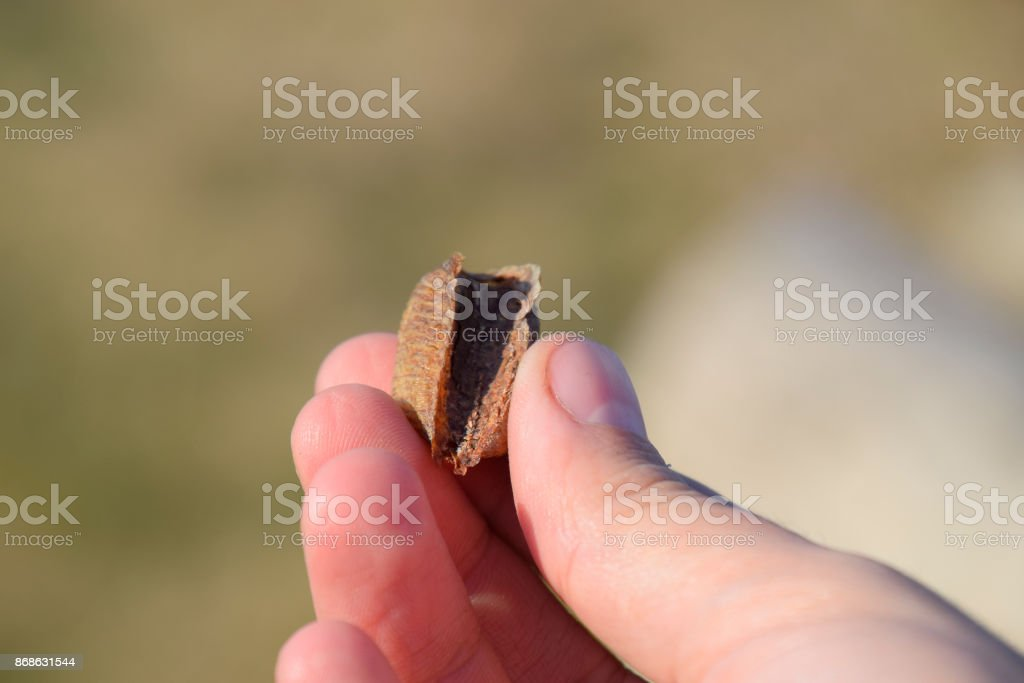 Pile of mantis in the human hand. Inspection ootheca. The eggs o stock photo