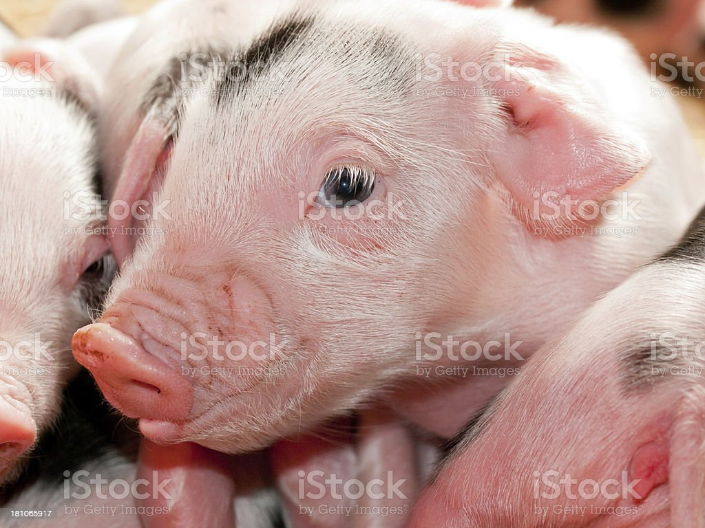 Pile of Piglets stock photo