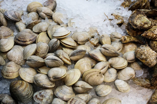 pile of raw clams on ice pile of raw fresh clams on ice mollusk stock pictures, royalty-free photos & images