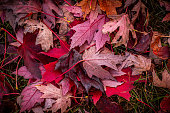 Looking down on a pile of autumn maple leaves on the grass with many different hues of red, orange, purple, and brown.