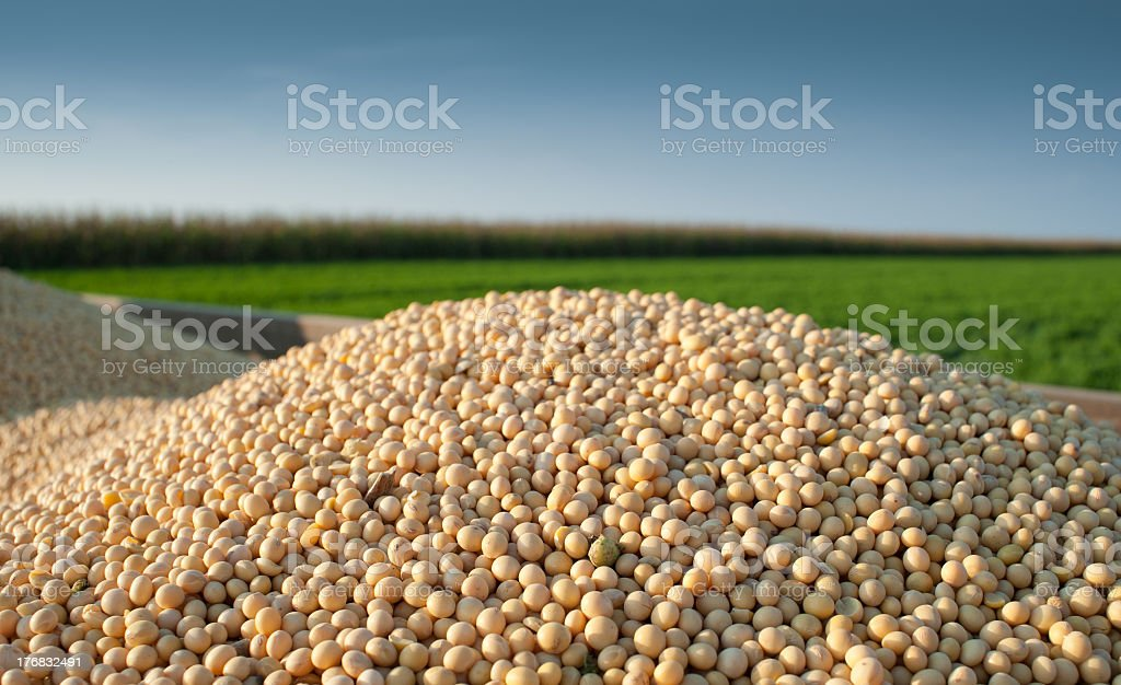 A pile of soybeans in a green field stock photo
