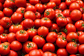 Fresh ripe red tomatoes plant growth in organic greenhouse garden ready to harvest