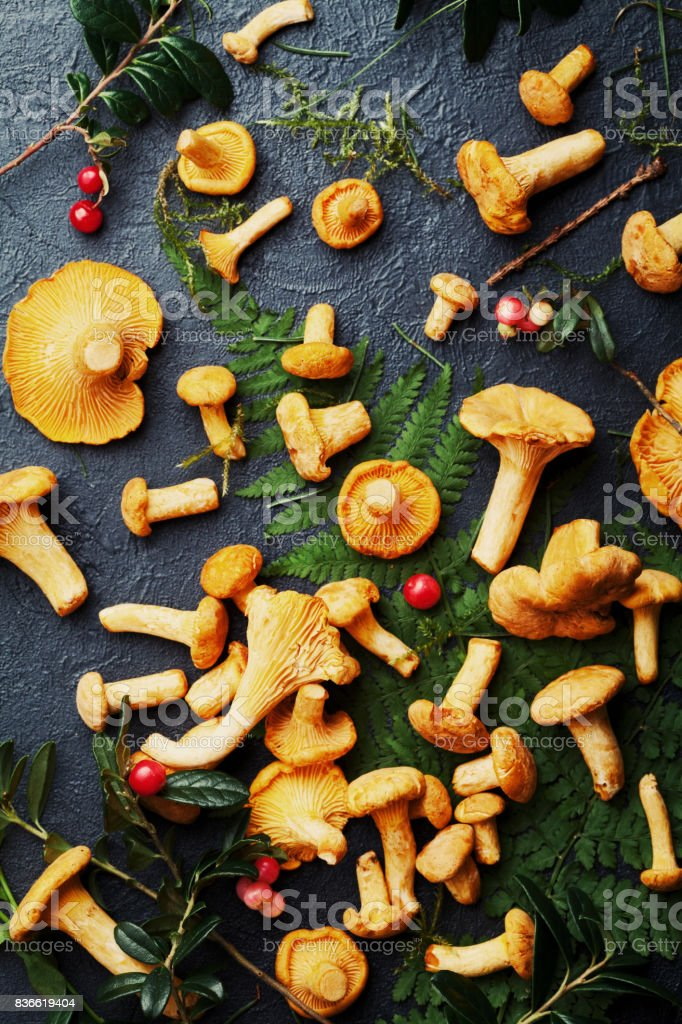 Pile of wild yellow mushrooms chanterelle (cantharellus cibarius) with forest plants overhead view. stock photo