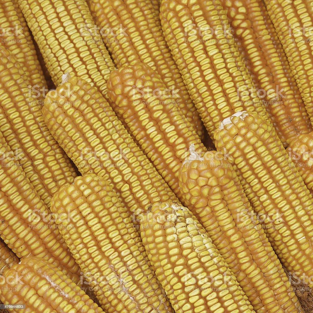Pile of yellow dried corns for animal feeding stock photo