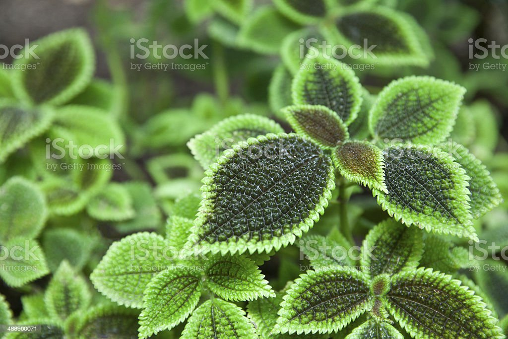 Pilea Mollis Moon Valley stock photo