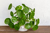 Pilea peperomioides, money plant in the pot. Isolated. White background, wooden table.