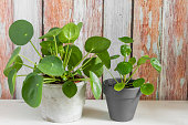 Pilea peperomioides, money plant in the pot. Isolated. Wooden background.