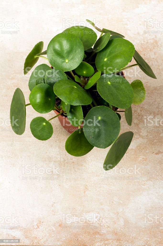 Pilea peperomioides, money plant in the pot. Single plant, beige background. stock photo