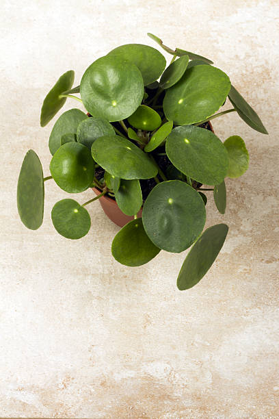 Pilea peperomioides, money plant in the pot. Single plant, beige background. Pilea peperomioides, money plant in the pot. Single plant, beige background.  chinese currency stock pictures, royalty-free photos & images