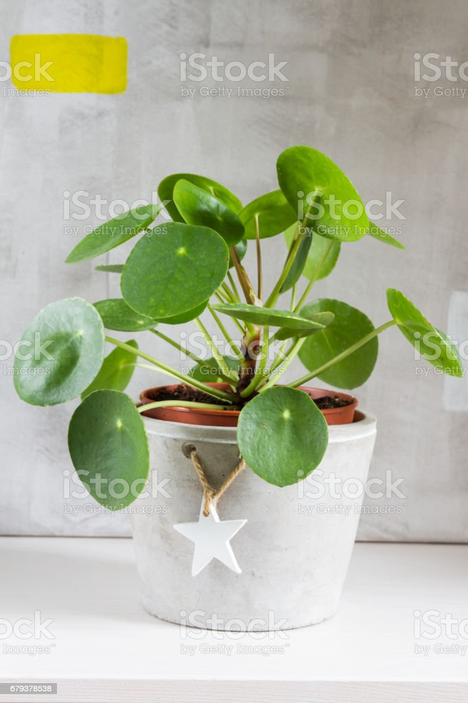 Pilea peperomioides, money plant. royalty-free stock photo