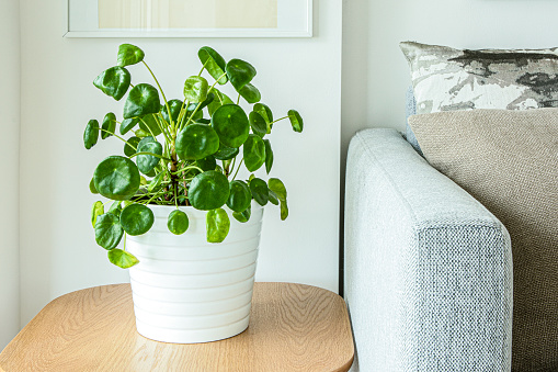 Pilea peperomioides or Chinese Money Plant on coffee table with sofa arm