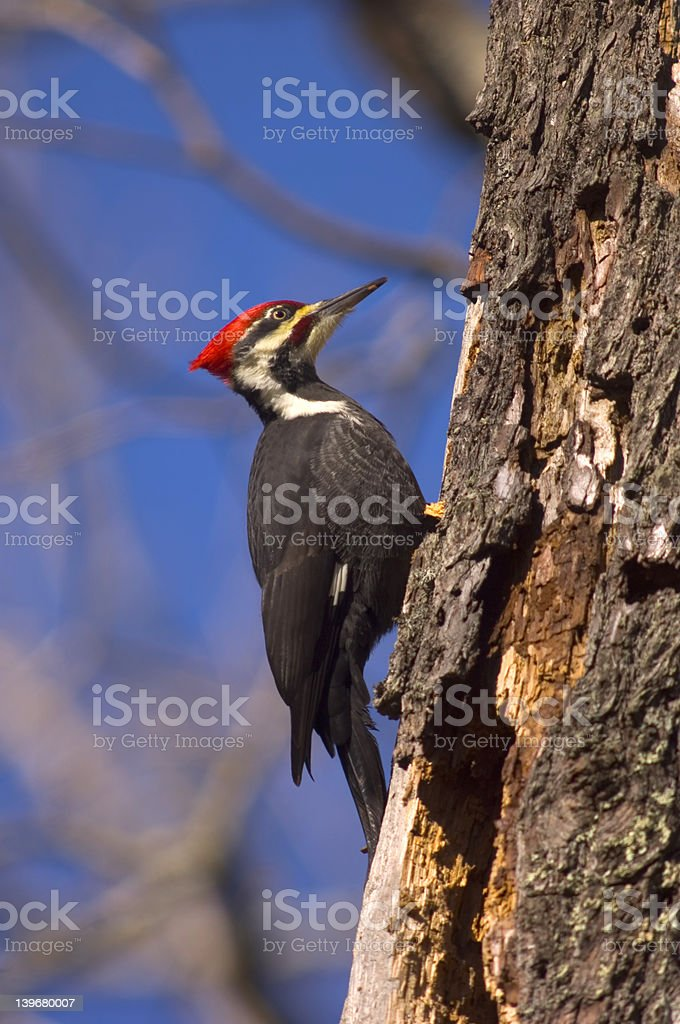 Pileated woodpecker clings to a decaying tree royalty-free stock photo