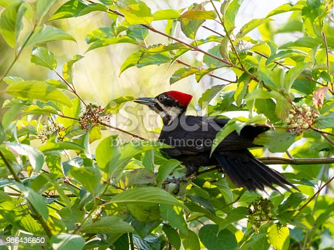 A pileated woodpecker (Dryocopus pileatus) feeding on berries in amount the leaves and branches. In the State of Washington.