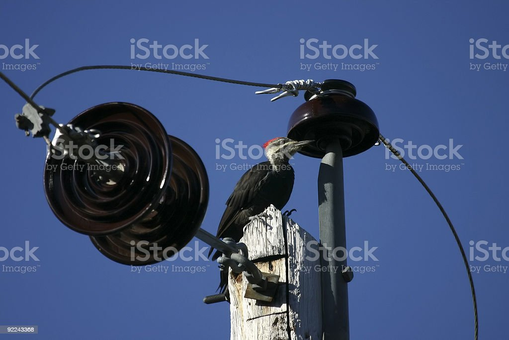 Pileated Woodpecker on top of pole stock photo