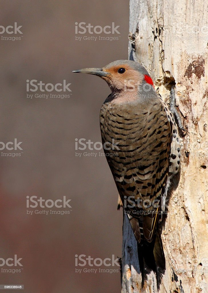 Pileated woodpecker royalty-free stock photo