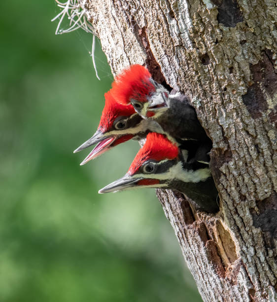 Pileated Woodpecker Portrait stock photo