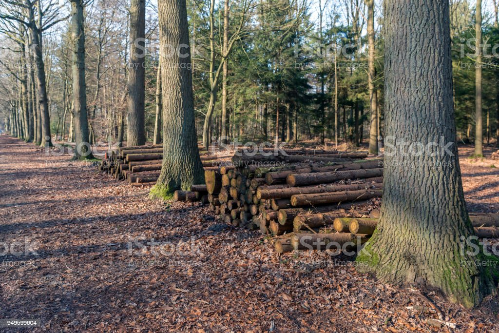 Piled tree trunks in a Dutch forest stock photo