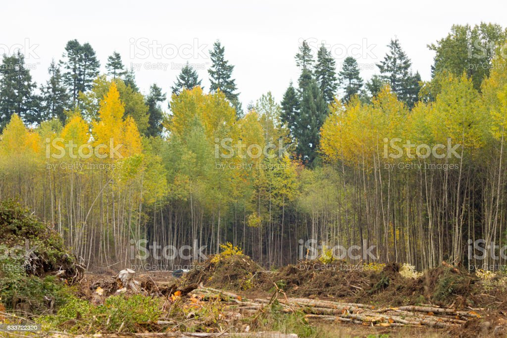 piles of brush and logs in front of a stand of aspens and conifers stock photo