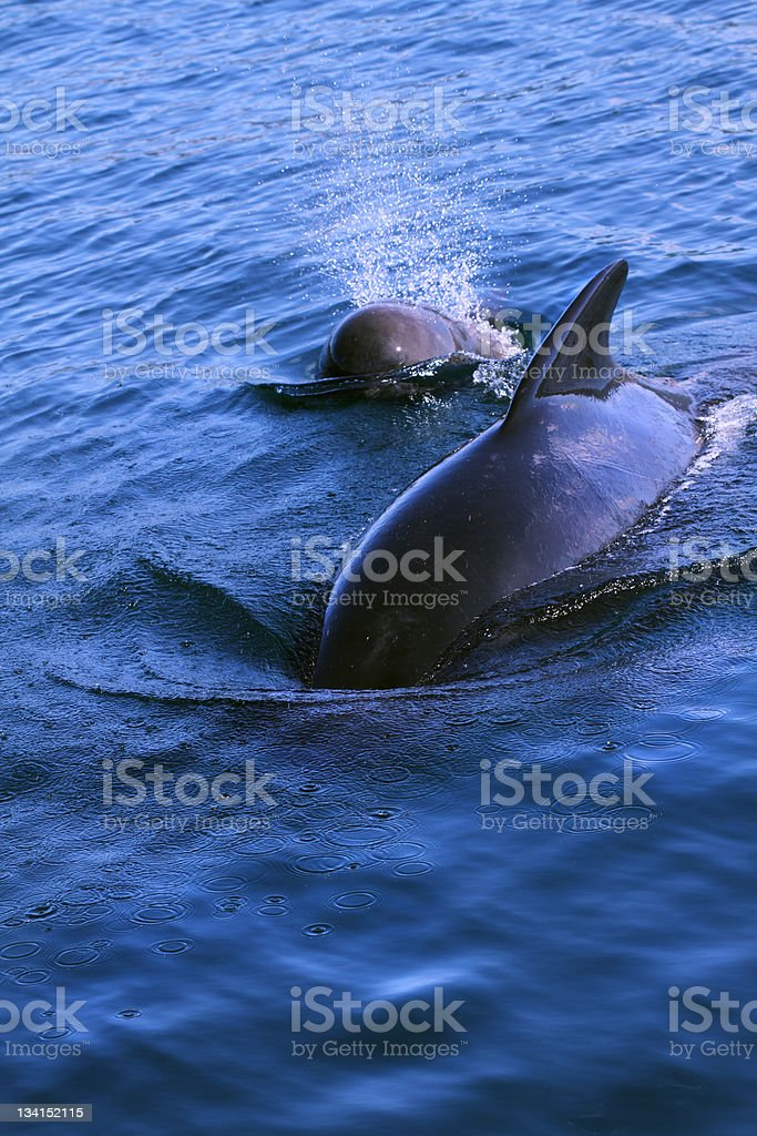 Pilot whale - Mother and baby stock photo