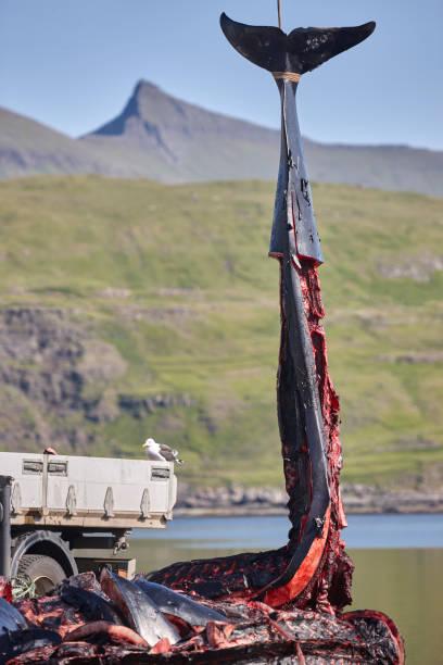 Grindwale auf Färöer-Inseln. Zerstückelte Körper. Fjord – Foto