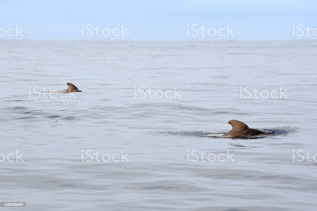 Pilot Whales Pair in Gulf Stream stock photo