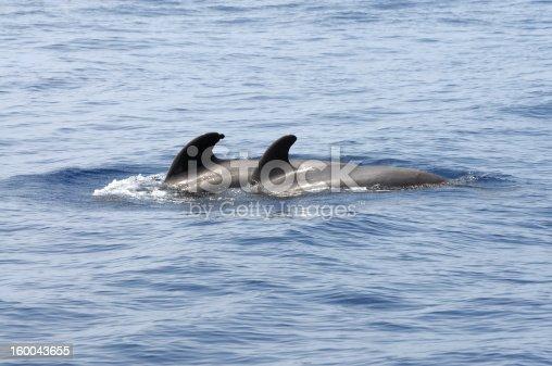 istock Pilot whales 160043655