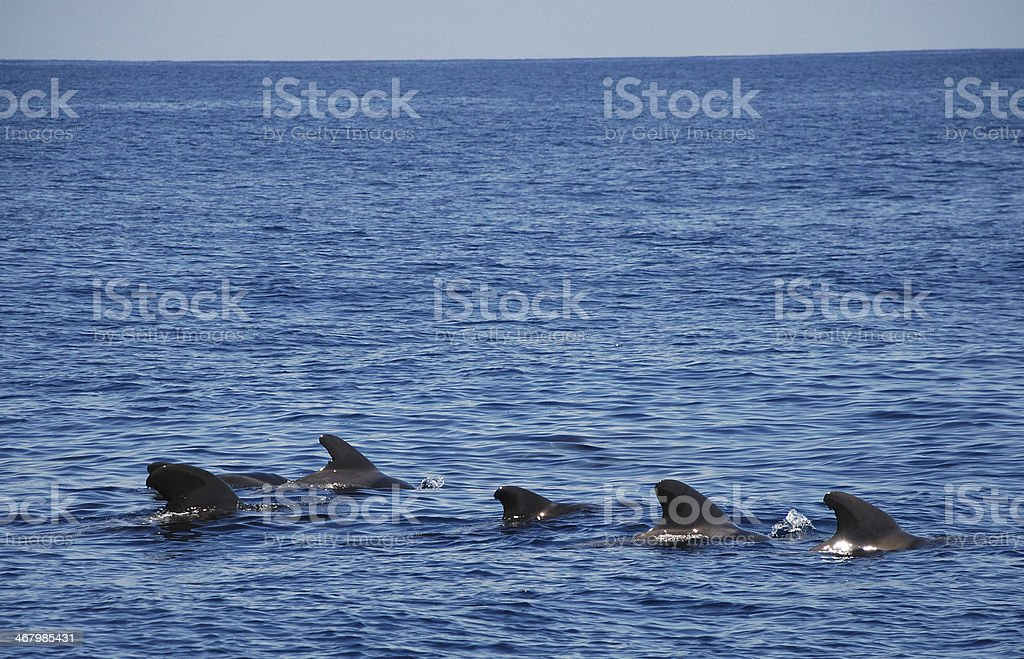 pilot whales with copyspace stock photo