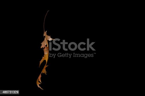 Hanging pin oak leaf isolated on a black background