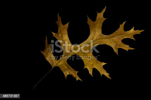 Close up of pin oak leaf in autumn colors, isolated on black.