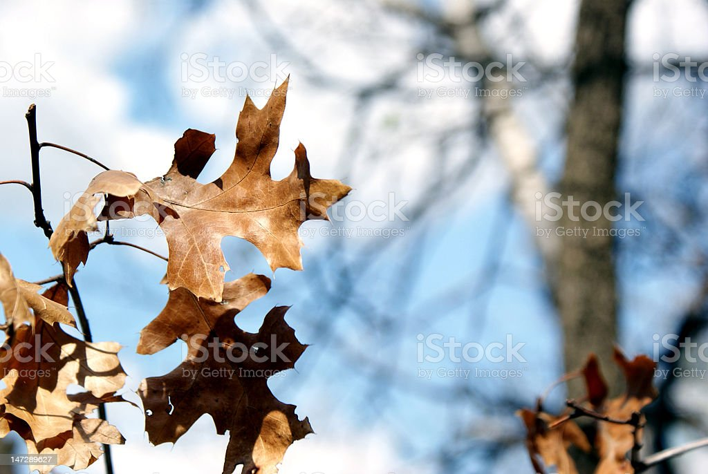 Pin Oak Leaf - Hanging On stock photo