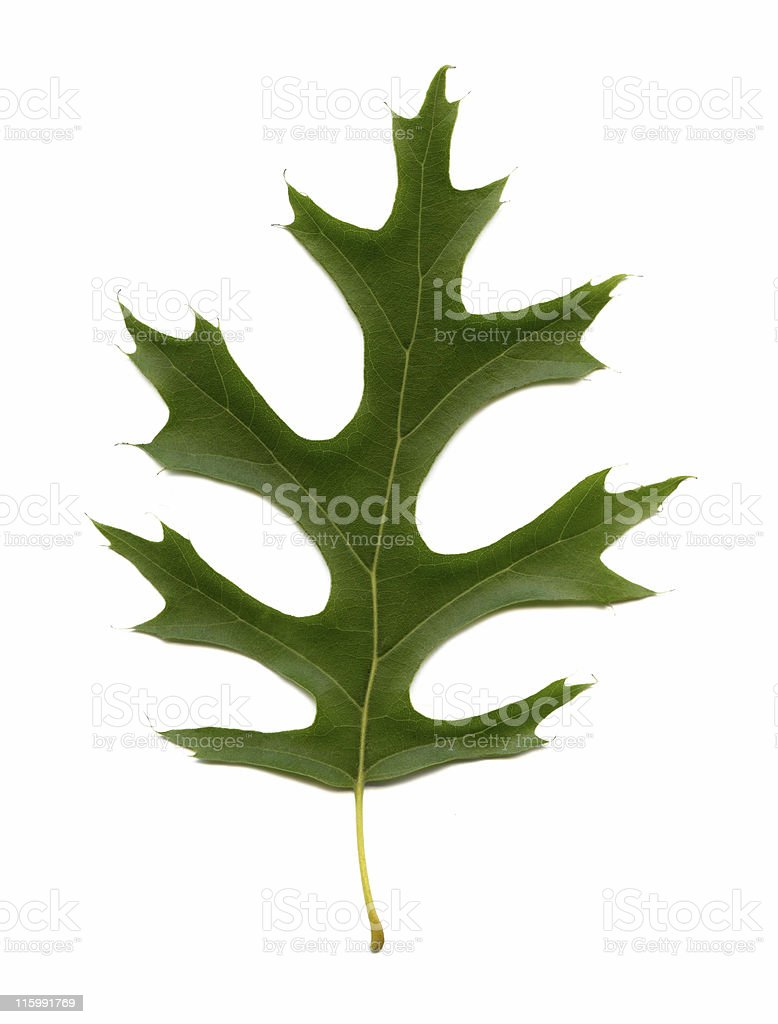 pin oak leaf, Quercus palustris royalty-free stock photo