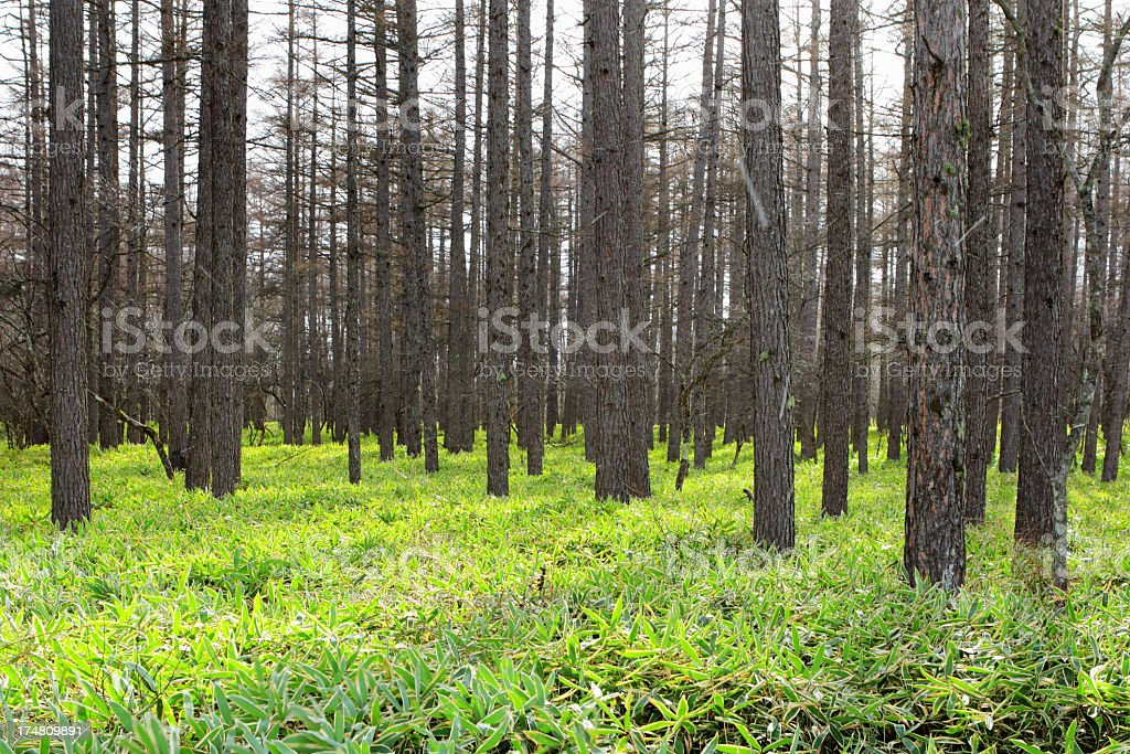 Pinaceae forest royalty-free stock photo