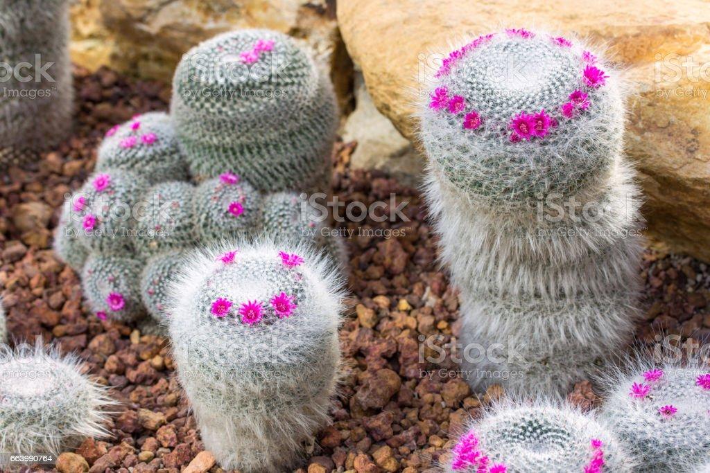 Plante Cactus Pelote Avec Decoration Fleur Rose Photos Et Plus D