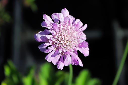 A pincushion flower head against a dark background