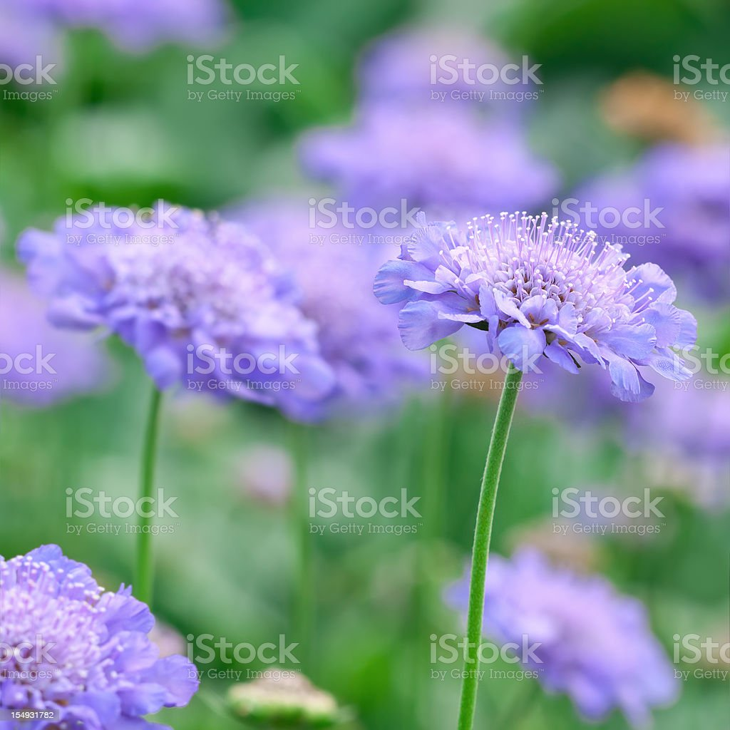 Pincushion Flower: Scabiosa 'Butterfly blue' - I stock photo