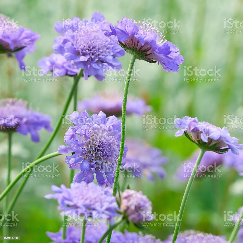 Pincushion Flower: Scabiosa 'Butterfly blue' - II stock photo